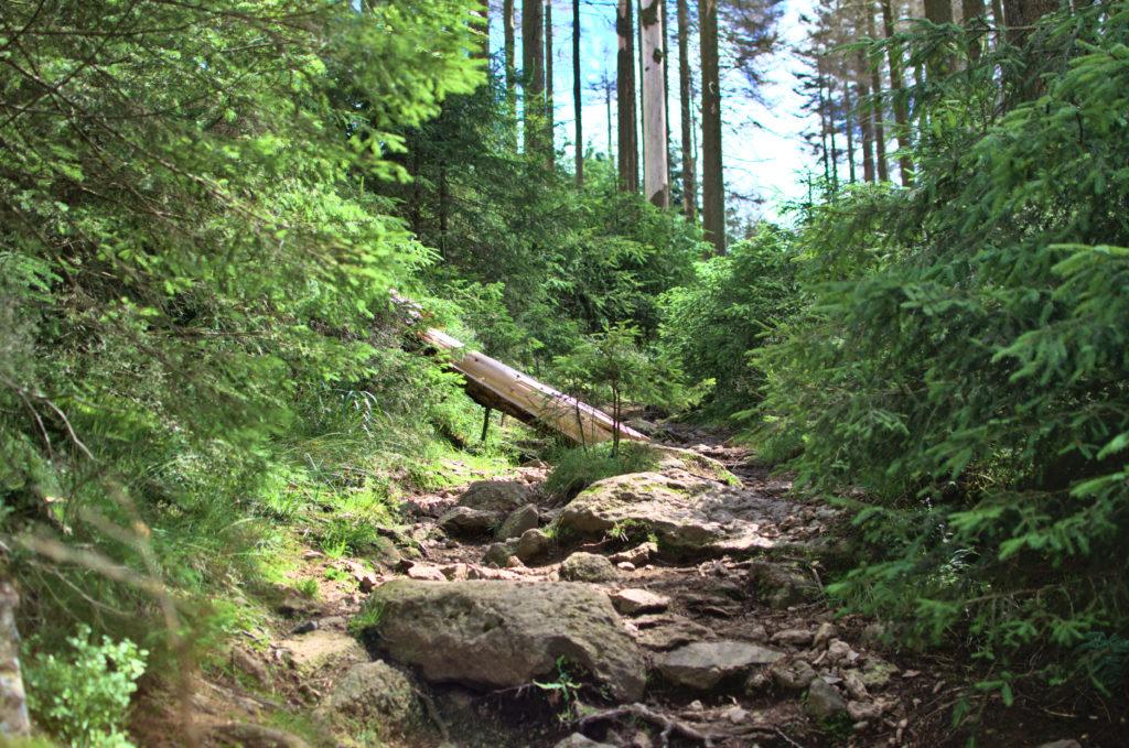 Ein Waldweg zum Brocken. Ein gefällter Baum liegt halb auf dem Weg.