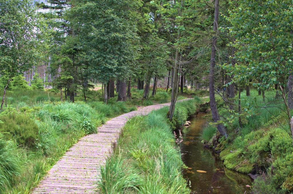 Das Harzer Torfmoor mit einem charakteristischen Plankenweg