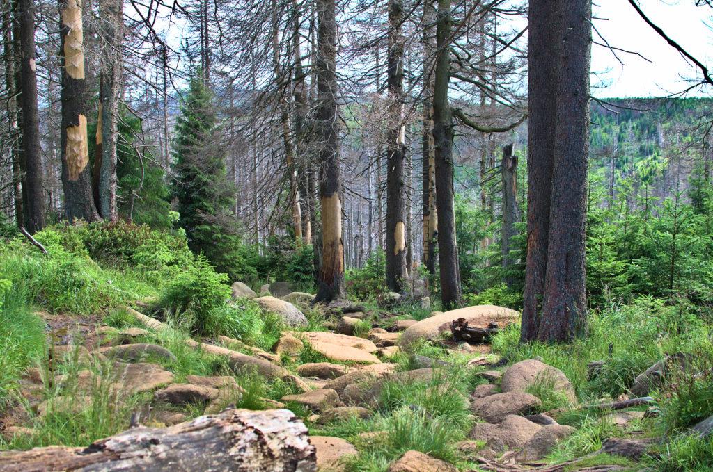 Der felsige Brockenabstieg nach Schierke, der durch dichten Wald führt.