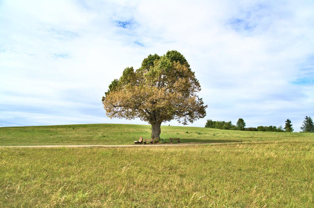 Ein freistehender Baum vor einem Wanderweg.